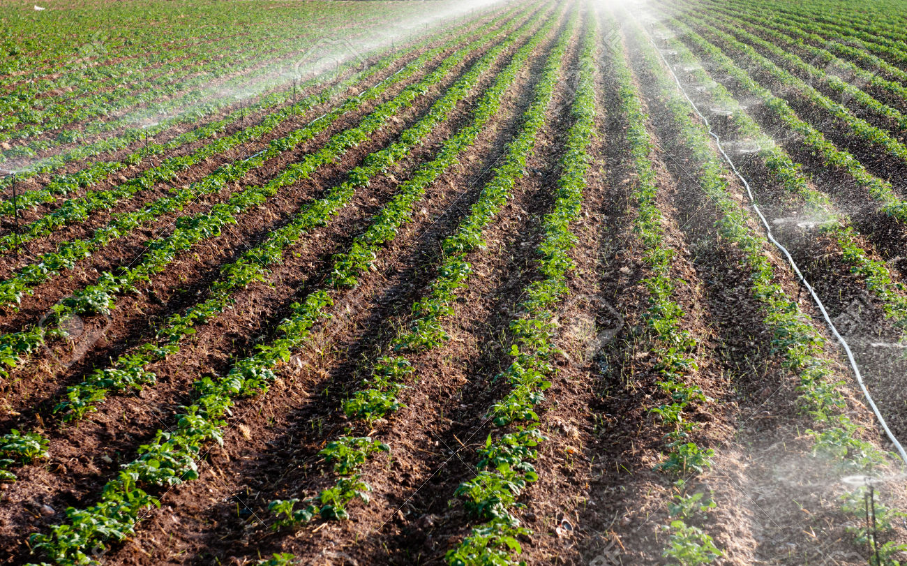 Potato field landscape with irrigation sprinkler watering the plants. Great for agriculture publication.