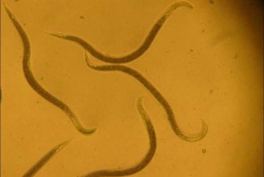 Detectan-en-Chile-nuevos-focos-de-nemátodos-en-cultivos-de-papas-809